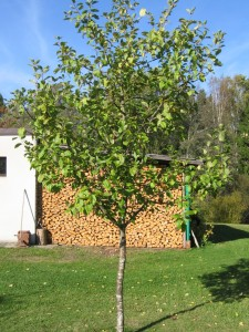Viljapuu