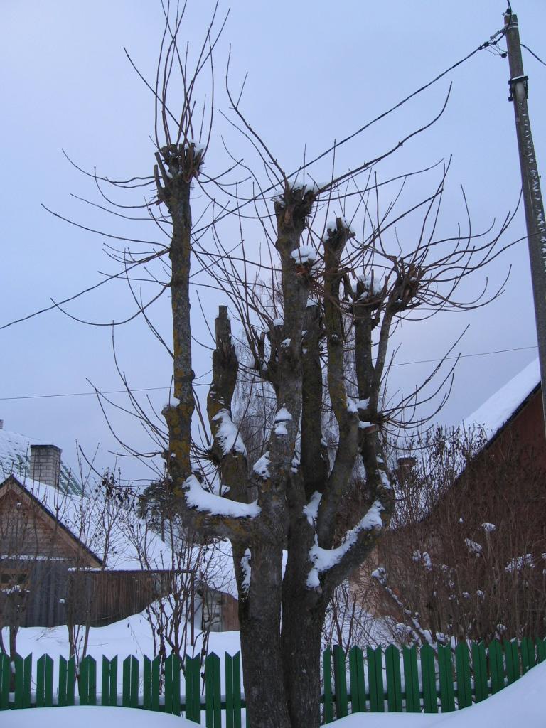 Köndistatud puu
